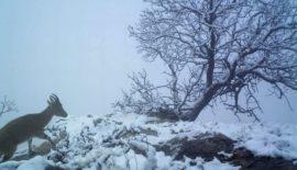 Siirt'te Koruma Altındaki Dağ Keçileri Şehre İndi