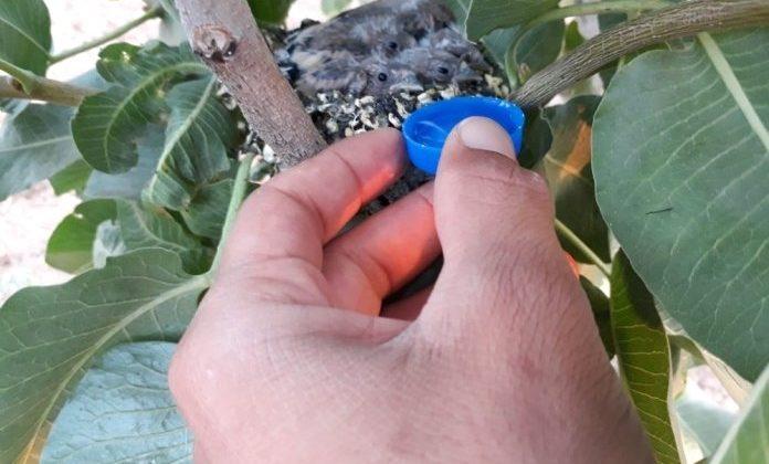 Sıcaktan Etkilenen Yavru Kuşlara Elleriyle Su İçirdi